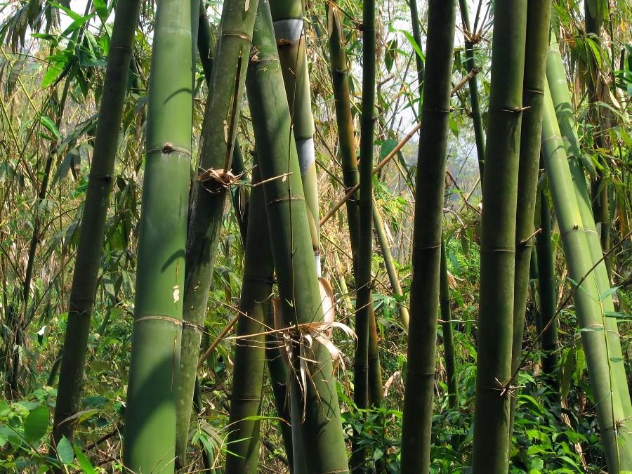 Bambuk-bamboo