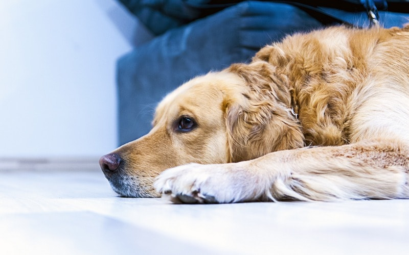 Kak_otuchit_sobaku_pisat_na_kover_Как отучить собаку писать на ковер